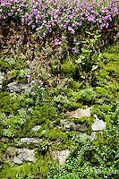 Ticino, Southern Switzerland. A moss-covered wall topped by pink flowers in Verdasio.