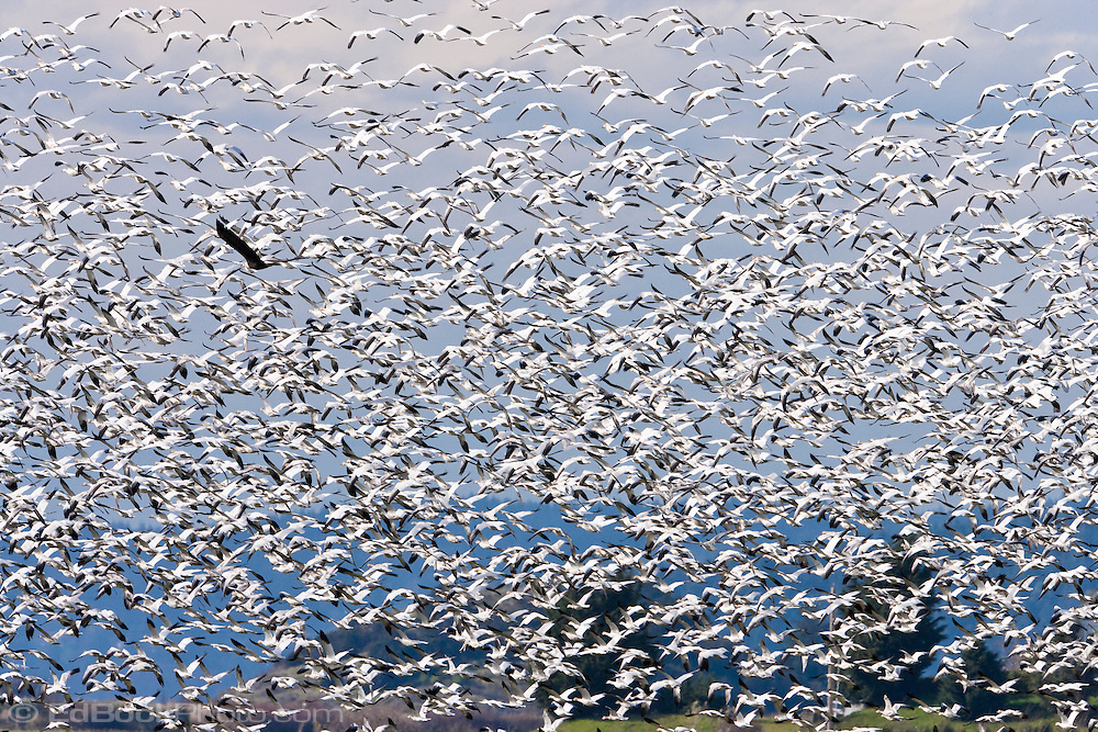A Bald Eagle panics a  large flock of Snow Geese (Chen caerulescens) that are wintering on Fir Island in the Skagit River delta at the Puget Sound, WA, USA.(Haliaeetus leucocephalus) panics a  large flock of Snow Geese (Chen caerulescens) that are wintering on Fir Island in the Skagit River delta at the Puget Sound, WA, USA.
