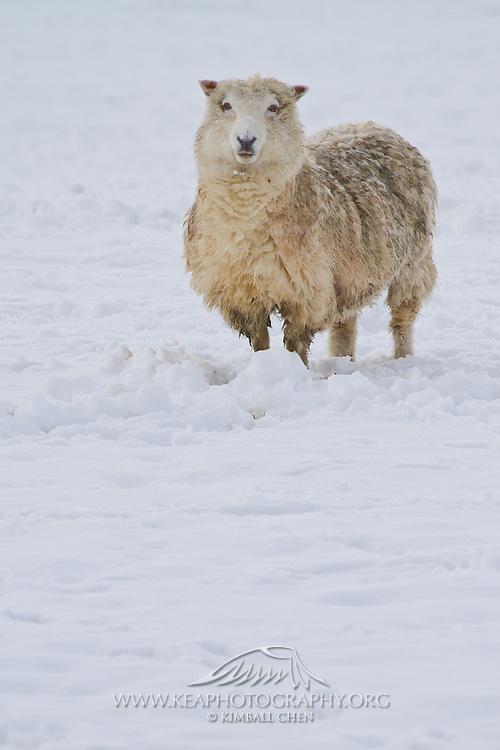 Lamb, winter snow, New Zealand