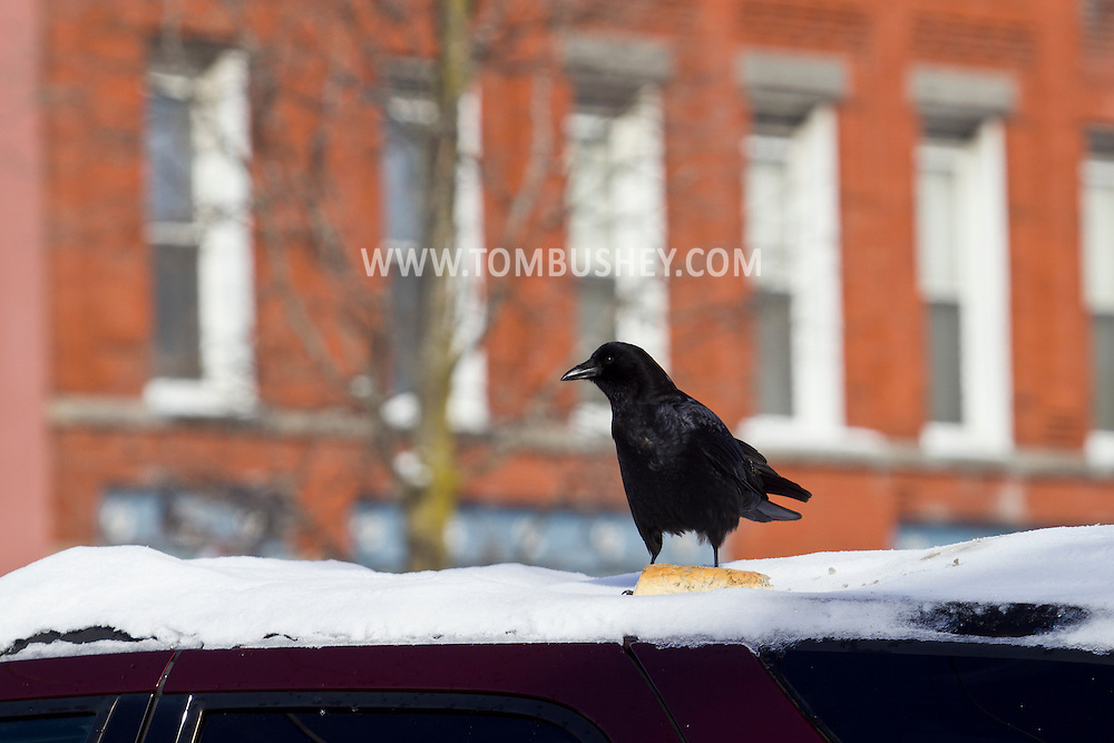 Middletown, New York - A crow stands on the roof of a car on Feb. 6, 2014.
