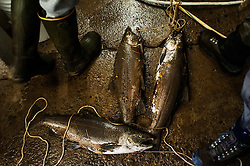 Freshly caught salmon from the Salmon River in Pulaski, N.Y. wait to be cleaned by Earl and Bill Lannon on September 29, 2013.  <br /> Fisherman from all over the Country come and tries for some of the best fresh water trophy fishing. Syracuse, N.Y.