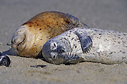 Harbor Seal <br /> Phoca vitulina<br /> A 2-3 wk old pup scratching its chin<br /> Monterey Bay, CA, USA