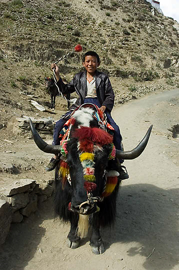 Decorated yak.Tibet.