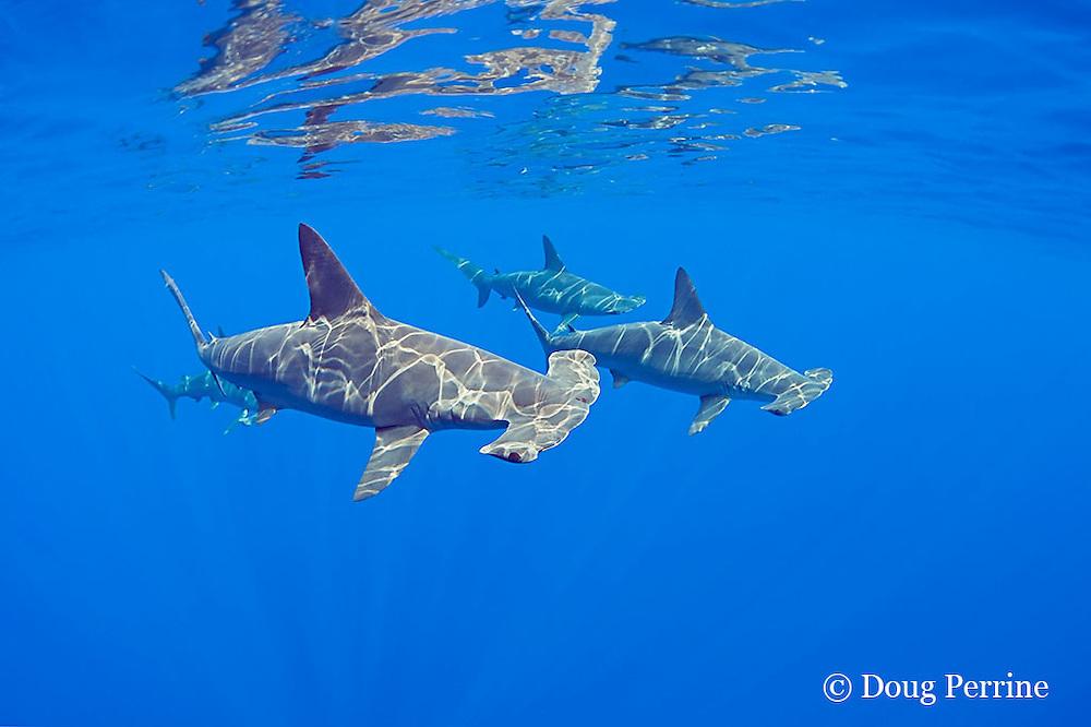 schooling female scalloped hammerhead sharks, Sphyrna lewini, Kona Coast, Hawaii Island ( the Big Island ), Hawaiian Islands, U.S.A.