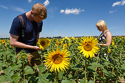 © Licensed to London News Pictures. 24/07/2018. ICKLEFORD, UK.  James King (L) and Megan Spriggs (R), recent university graduates students from Hertfordshire, walk amongst sunflowers at Hitchin Lavender farm during the continuing heatwave.  Currently in full bloom, the lavender and colourful sunflowers attract visitors from far and wide to this popular family run farm. Photo credit: Stephen Chung/LNP