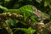 Oshaughnessyi chameleon (Calumma oshaughnessyi) eastern forests from Zafimaniry to Andohahela National Park. MADAGASCAR.<br /> A large chameleon of the Calumma parsonii group that may reach a length of 35cm. It has large scales present on the body and limbs but small occipital lobes. A dorsal crest is present. This male is in breeding season and shows a colourful head with reddish nasal appendages.<br /> There are more than 150 species world wide and over half of those are only found in Madagascar. All species on the island are Native.<br /> Chameleons are well-known for their special adaptions: The ability to change color rapidly to either match their surroundings or to reflect their mood. They have the capacity to move their turreted eyes independently of each other which allows them to look in different directions simultaneously. They have independent 360 degree vision except when hunting they use binocular vison to estimate the distance of the prey. They capture their prey with the rapid firing of their tongue which can extend to approximately half of their body length and is ended with a kind of gluing hammer. All species found in Madagascar lay eggs (Oviparous) and do not give parental care. The calumma and furcifer group are known as true chameleons as they have a prehensile tails. They tend to be solitary except during the breeding season. <br /> Calumma oshaughnessyi is CITES 11 classification and needs an export permit to be exported from Madagascar <br /> ENDEMIC TO MADAGASCAR