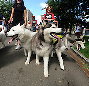 """Amy Duffield of Walpole, MA walks her three Siberian Huskies, Teghan (left), Odin (center) and Mack (right) along the MSPCA Walk for Animals route around Boston Common on Sunday afternoon. To keep the animals fit and working sled dogs, Boston Snow Dogs participates in """"urban mushing"""", where the huskies pull their owners on bikes and scooters, much like they would attached to a sled in the snow...Photo by Kristyn Ulanday"""