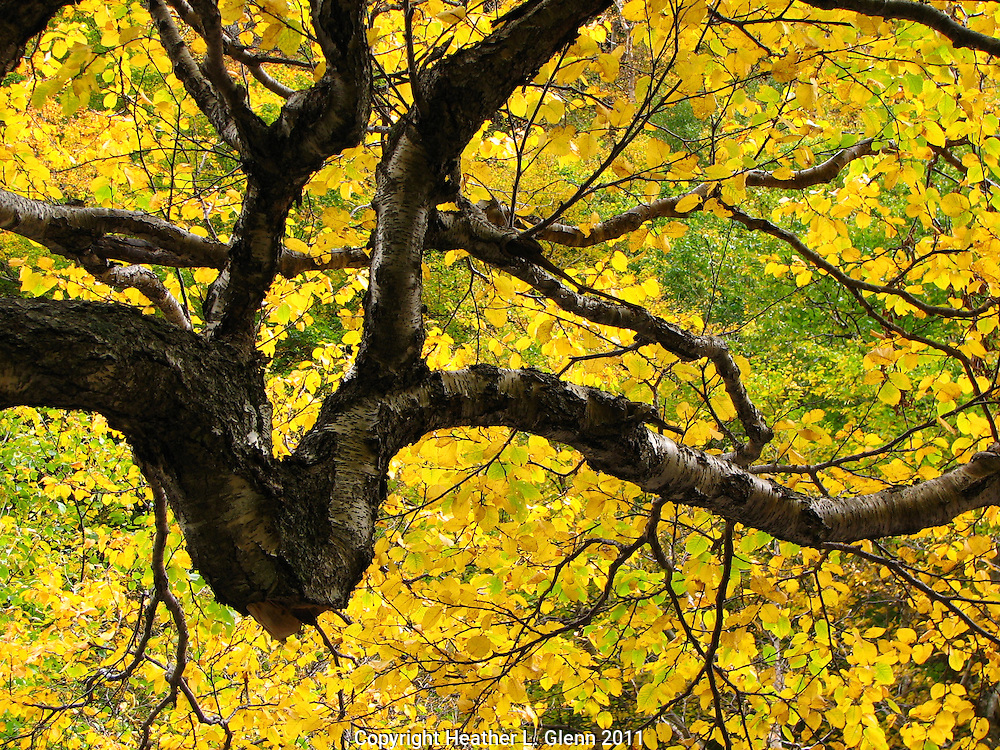 Autumn yellow leaves in Smugglers Notch Stowe, Vermont