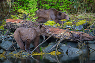 Brother Grizzly plays while Mama and Daughter rest
