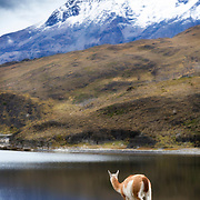A guanaco views the granite peaks from afar - 18 x 12
