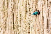 Ruby-tailed wasp (Chrysis ignita?) parasitising host nest burrow in dead oak tree. Ashtead Common NNR, Surrey, UK.