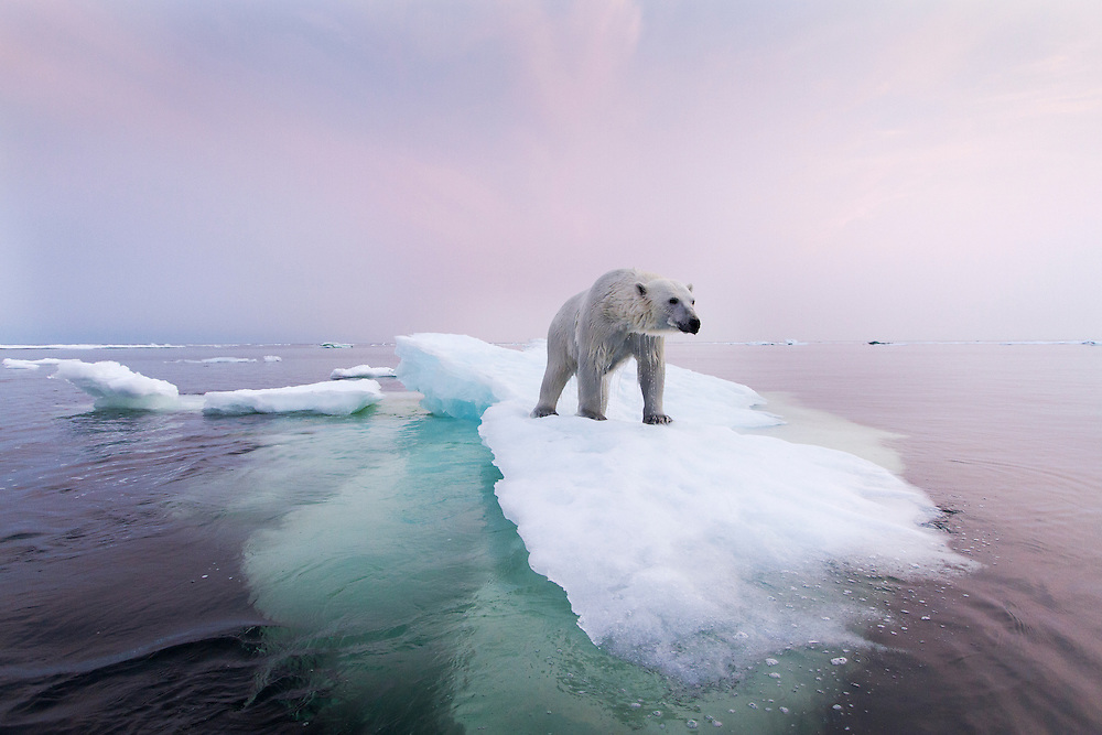 Canada, Manitoba, Churchill, Polar Bear (Ursus maritimus) standing on melting sea ice in Hudson Bay on summer evening
