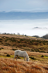 © Licensed to London News Pictures. 17/12/2019. Builth Wells, Powys, UK. A Welsh mountain pony grazes above the clouds on the Mynydd Epynt range near Builth Wells in Powys after temperatures dropped  to below freezing last night. Photo credit: Graham M. Lawrence/LNP