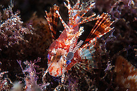 A Parasitic Copepod has attached to a Lionfish's eye.<br /> <br /> Shot in Indonesia