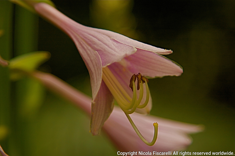 Close-up of a perennial Hosta flower ,with the green background.