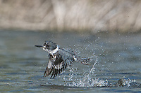 Belted Kingfisher, Megaceryle alcyon<br /> Photographer: Robert Rommel<br /> Ranch: Sick Dog Ranch - Mitchell &amp; Dianne Dale, Michael Dale<br /> Jim Wells County