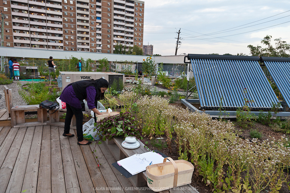A rooftop vegetable garden in Toronto  Access Alliance. Rooftop Vegetable garden   GreenFuse Photos  Garden  farm   food