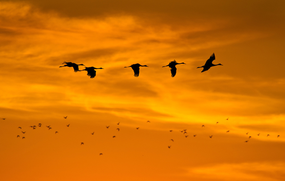 Birds make their way to the fields as the sunsets over the Cosumnes River Preserve. November 2, 2011.