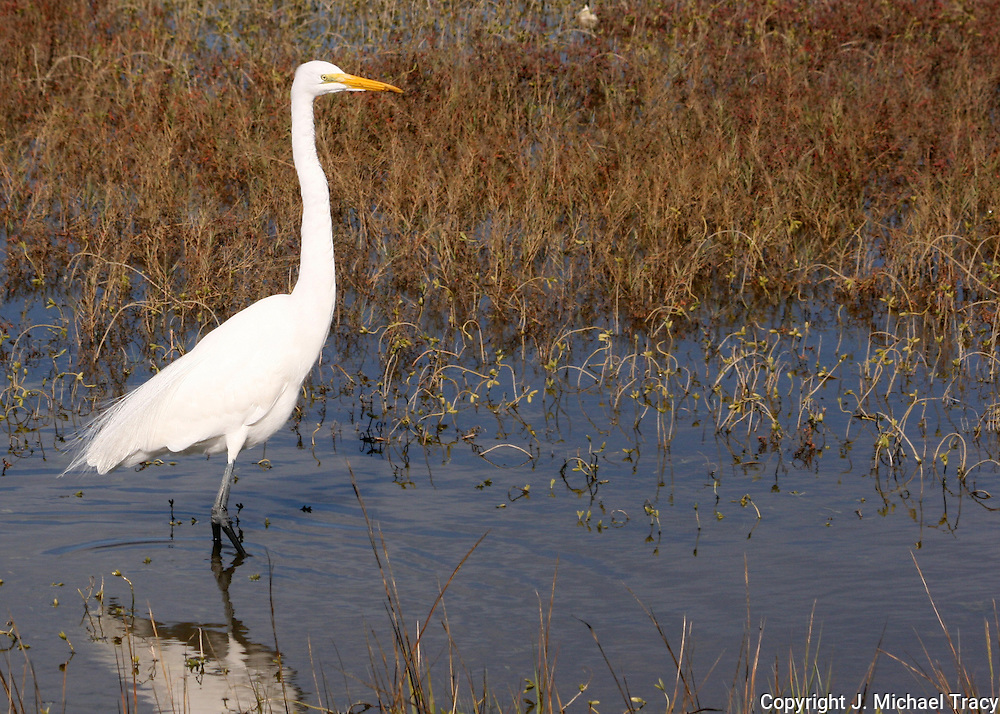 A great egret hunting in the salt marsh of Jekyll Island