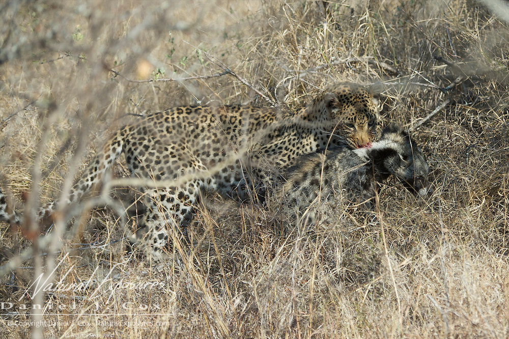Leopard, male stumbles on to a stripped polecat that was hiding in the brush and was found by accident as the male was trying to avoid female leopard with cubs. Timbavati Game Reserve, South Africa.