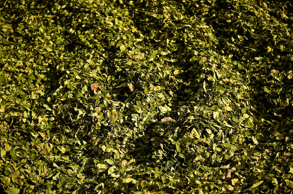 Coca leaves dry in the sun before being taken to market in the Chapare region of Bolivia. It's estimated that 90 percent of coca from the Chapare goes to the drug trade.