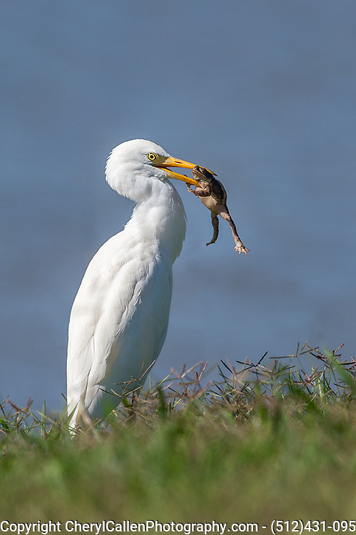 Great Egret with toad in his beak