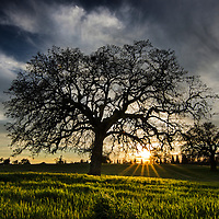 Sunset through a large oak tree, Sacramento County, California.