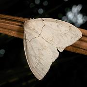 Psilochira sp. , a Lymantriinae moth. Khao Yai National Park, Thailand.