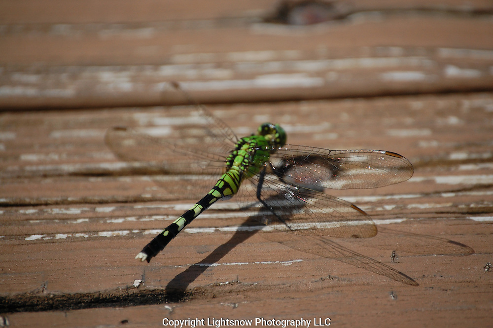 This is a photograph of a Great Pondhawk Dragonfly taking a reprieve.  It was taken at Daggerwing Nature Center in Boca Raton, Florida.