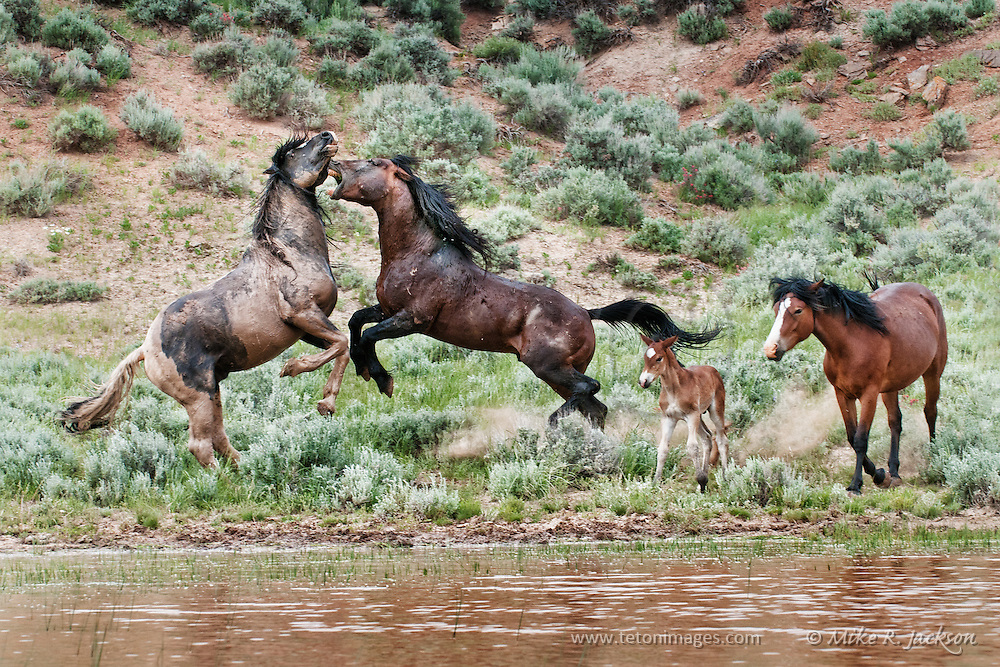 Mustang stallions fighting for a mare and colt at a muddy water hole in the badlands of northern Wyoming.