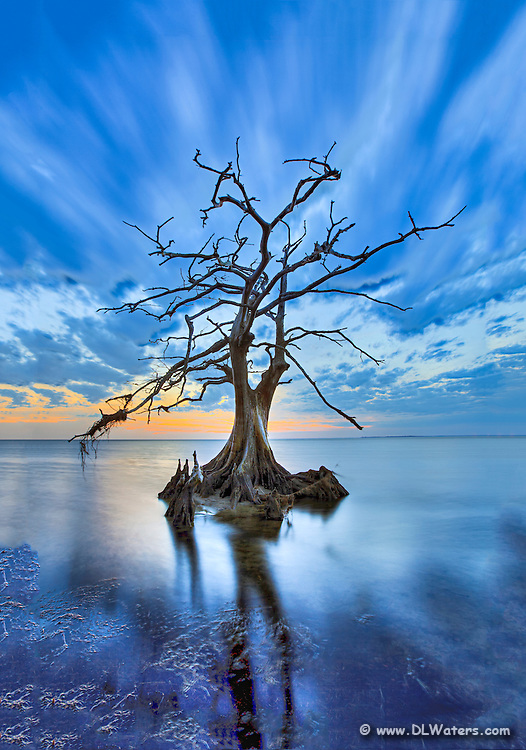 Cypress trees can live up to 600 years and flourish on the shallow sounds of the Outer Banks of NC.