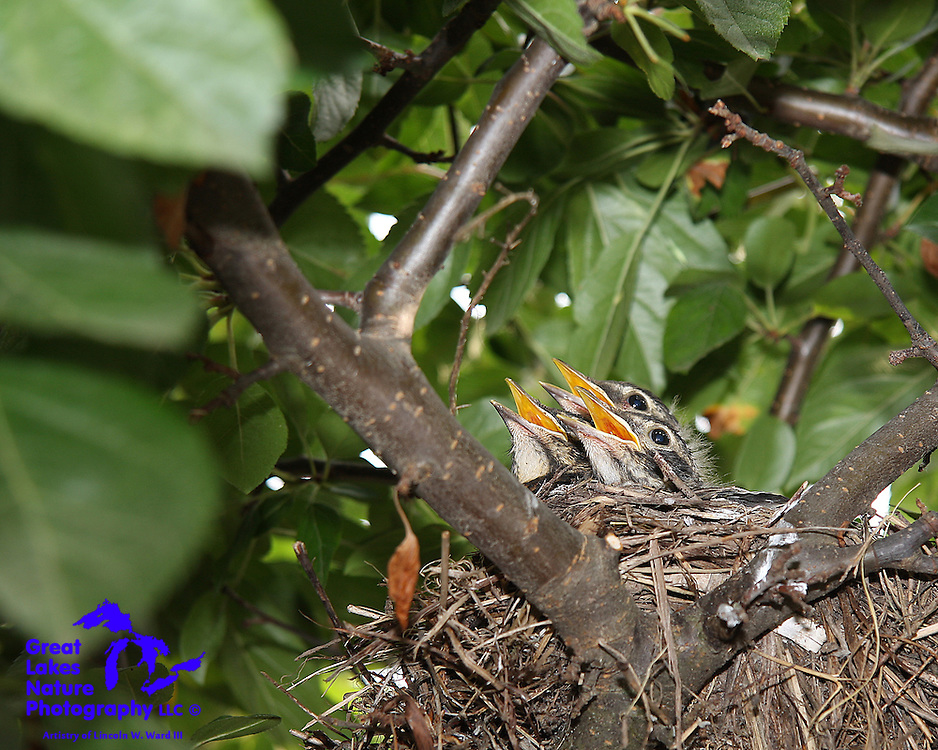 These tree Robin hatchlings are laser-focused on the signaling call of a parent.