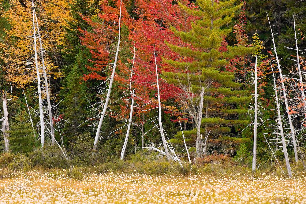 Cotton grass in a marsh on the shoreline of Seboeis Lake near Millinocket, Maine.