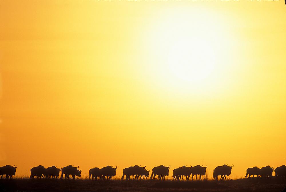 Kenya, Masai Mara Game Reserve, Rising sun silhouettes line of Wildebeest (Connochaetes taurinus) in migration