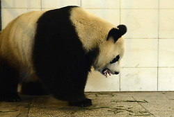 Image ©Licensed to i-Images Picture Agency. 28/06/2014. <br /> 61774449<br /> Giant panda Qing Qing carries her newly-born cub in the mouth at the Bifengxia Base of China Giant Panda Protection and Research Center in Ya an City, southwest China's Sichuan Province, June 28, 2014. Qing Qing gave birth to her baby for the first time on June 27 afternoon. Picture by  imago / i-Images<br /> UK ONLY