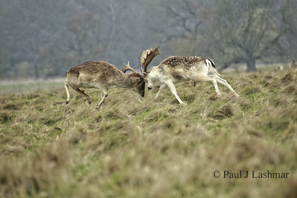 Rucking Deer in Attingham Park, Shropshire