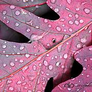 Detail of purple oak leaf with water droplets;  Minnesota.