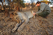 Lioness darting for relocation to Malawi (Panthera leo)<br /> after quarantine period in boma<br /> Pilansberg Game Reserve<br /> North West Province<br /> SOUTH AFRICA