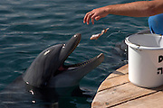 Israel, Eilat, Dolphin Reef Beach, Common Bottlenose Dolphin (Tursiops truncatus). Trainer feeding the dolphins