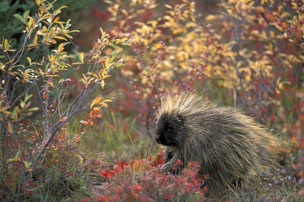 Common Porcupine, Erethizon dorsatum in colorful foliage