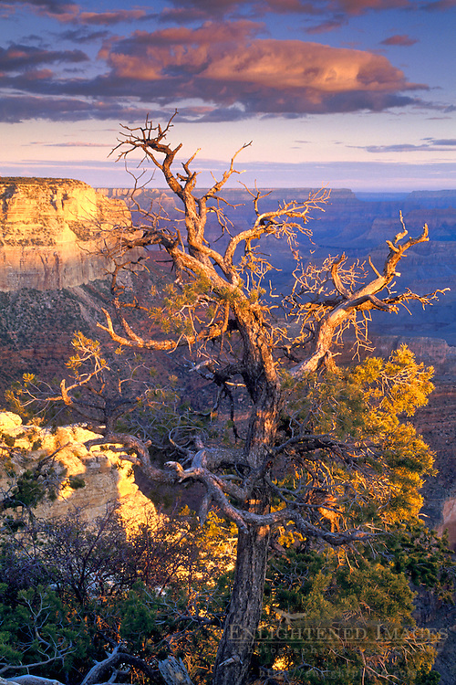 Dawn light on pine tree & canyon from Yavapai Point, South Rim, Grand Canyon National Park, Arizona