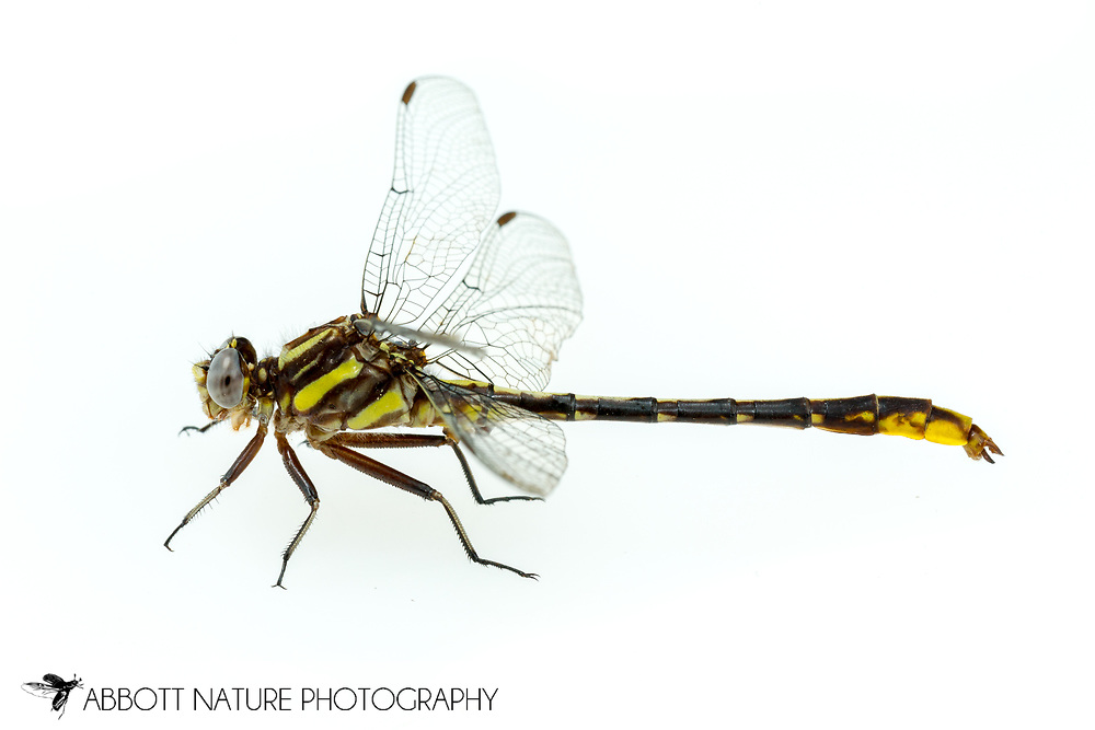Lancet Clubtail (Phanogomphus exilis) - male<br /> ALABAMA: Tuscaloosa Co.<br /> Tulip Tree Springs off Echola Rd.; Elrod<br /> 9-April-2016<br /> J.C. Abbott #2793 &amp; K.K. Abbott