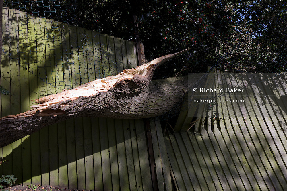 Fallen tree branch that has split and crushed a rear garden fence after strong winds.