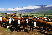 Cattle, Kaupo, Maui, Hawaii