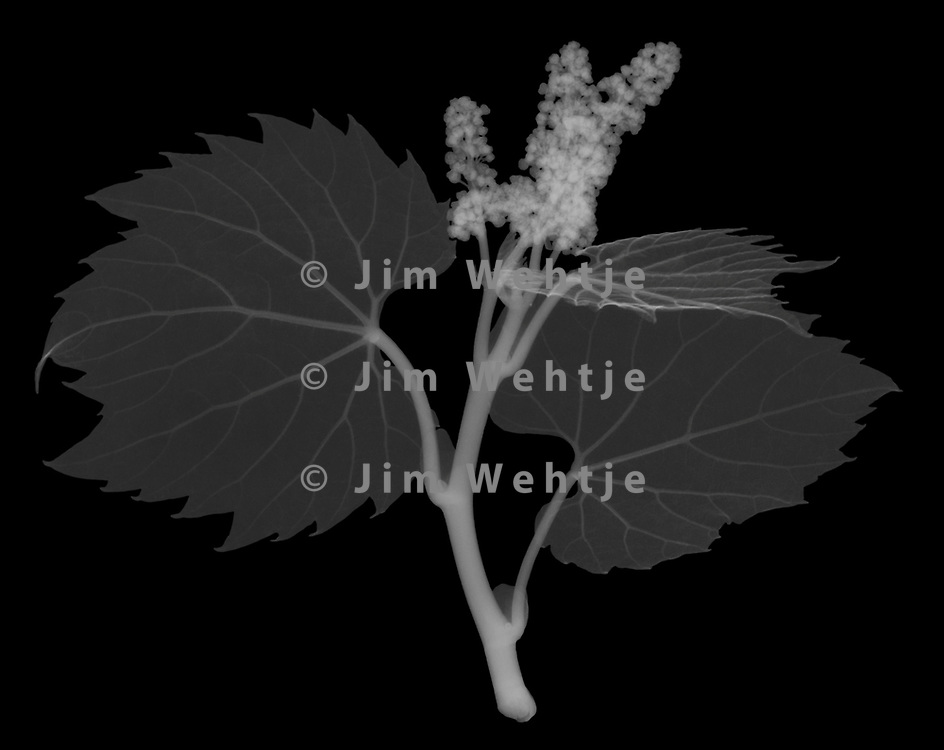 X-ray image of a baby wild grape vine (Vitis sylvestris, white on black) by Jim Wehtje, specialist in x-ray art and design images.