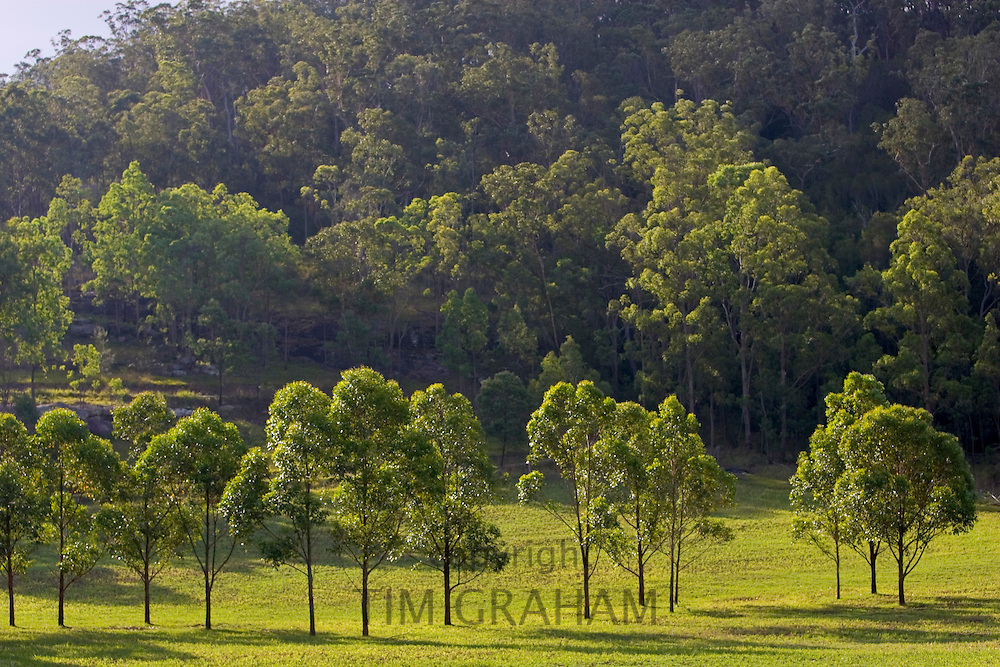 Trees near Wollombi, Australia