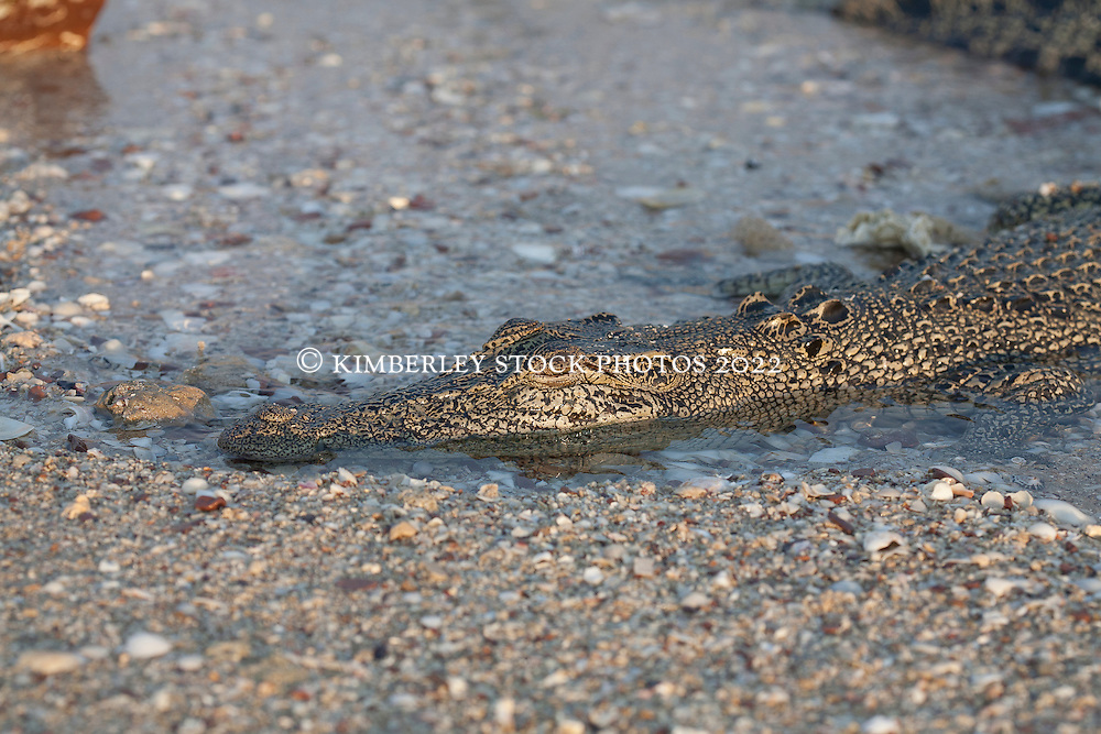 A small crocodile rests on the beach at Hall Point in Deception Bay, Camden Sound.