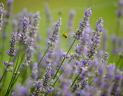 A bee cruises around the vast rows of lavender. (Mike Siegel / The Seattle Times)