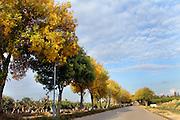 Autumn. An avenue of Deciduous Ash trees