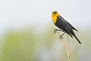 Yellow headed Blackbird (Xanthocephalus xanthocephalus) at Walden Ponds in Boulder, Colorado